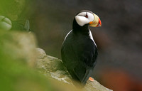Horned Puffin, St George Island