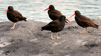 Black Oystercatchers, Glacier Bay National Park