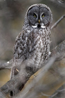 Great Grey Owl, stare down