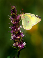 Clouded sulfur butterfly.