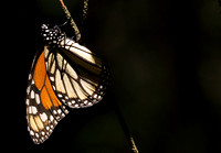 Monarch butterfly at rest.