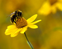 Bombus Days, Montana, USA