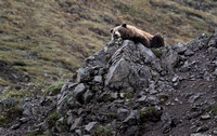 Resting Brown Bear, Denali National Park