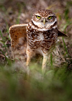 Burrowing owl, on watch