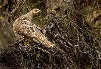 Spruce Grouse, Denali National Park