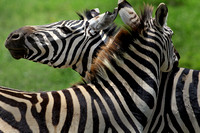 Two Zebra, Kenya
