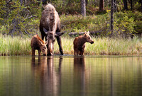 Moose and Twins, Denali National Park