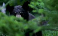 Hidden Black Bear, British Columbia