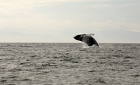 Humpback Whale Breach, Frederick Sound