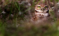 Curious, Burrowing owl