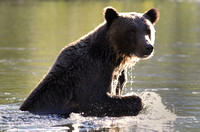 Fishing Bear, British Columbia