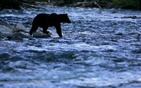 Searching Bear, British Columbia