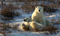 Wrestling Polar Bears 1