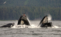 Bubble Net Feeding, Humpback Whales