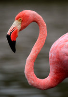 Flamingo, Equador