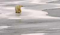 TravelingPolar Bear 1