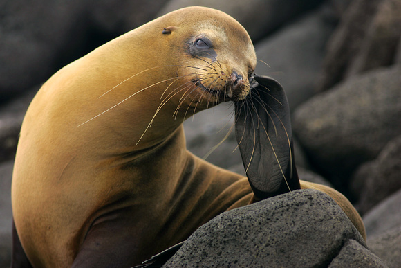 Golden Sealion