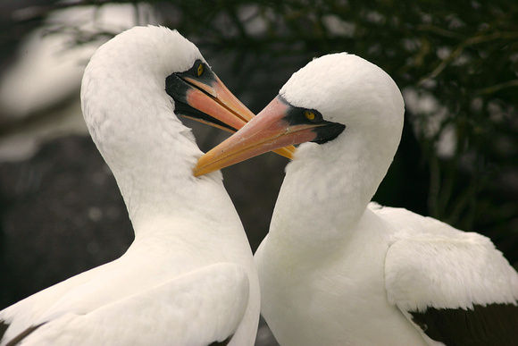 Masked Booby, Courtship
