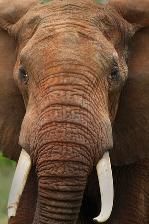 Elephant Closeup, Kenya