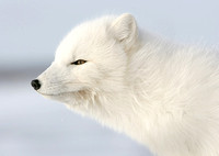 Arctic Fox, Churchill Manitoba
