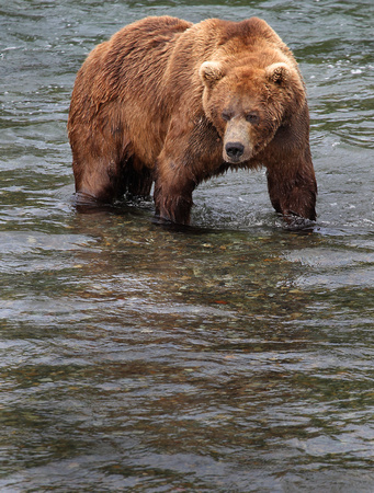 Brown Bear, Katmai National Park