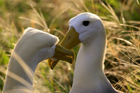 Waved Albatros Courtship