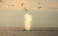 Humpback Whale Blow, Frederick Sound