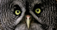 Great Grey Owl, Denali N.P.